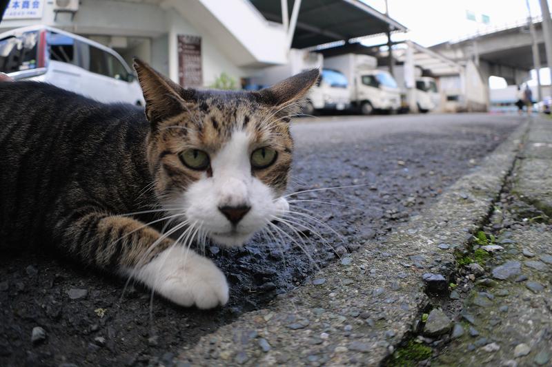 道の端のキジ白猫1