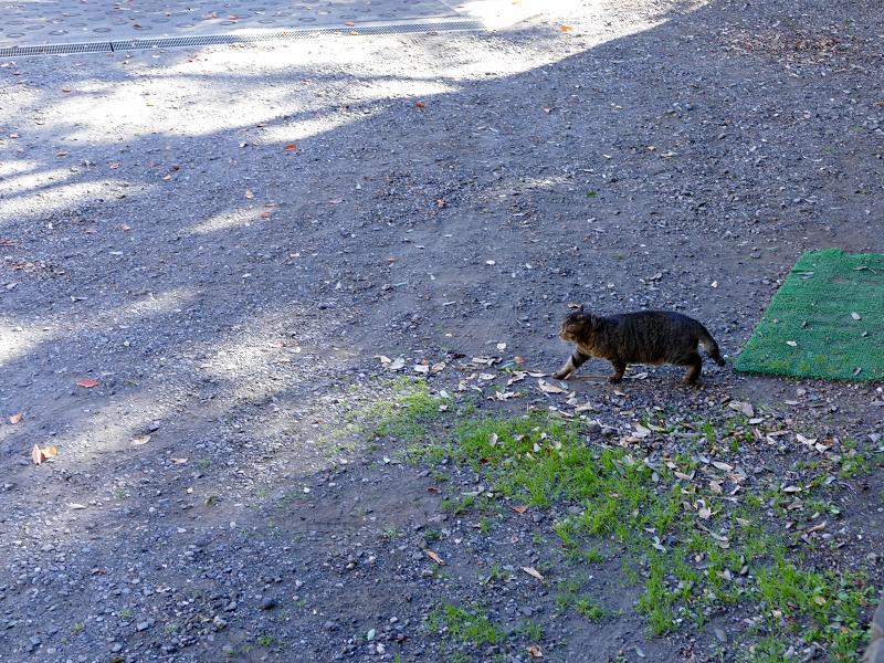 空き地を横切るキジトラ猫1