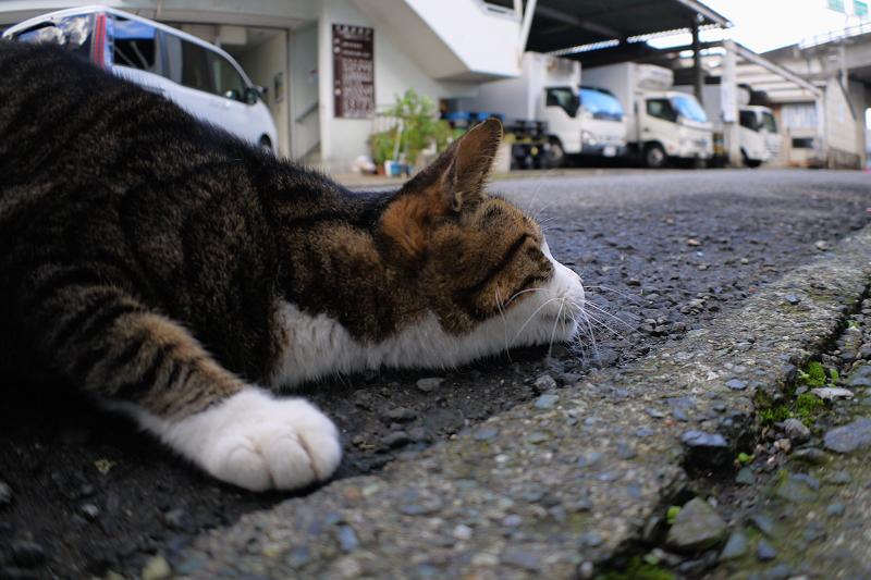道の端のキジ白猫2