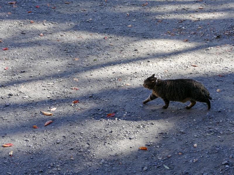 空き地を横切るキジトラ猫2