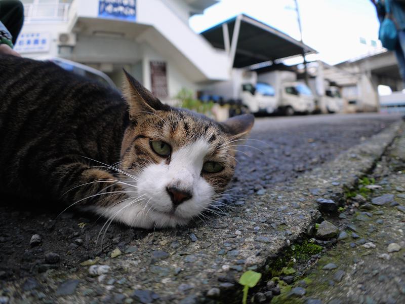 道の端のキジ白猫3