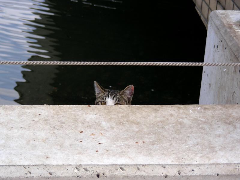 運河背景のキジ白猫1
