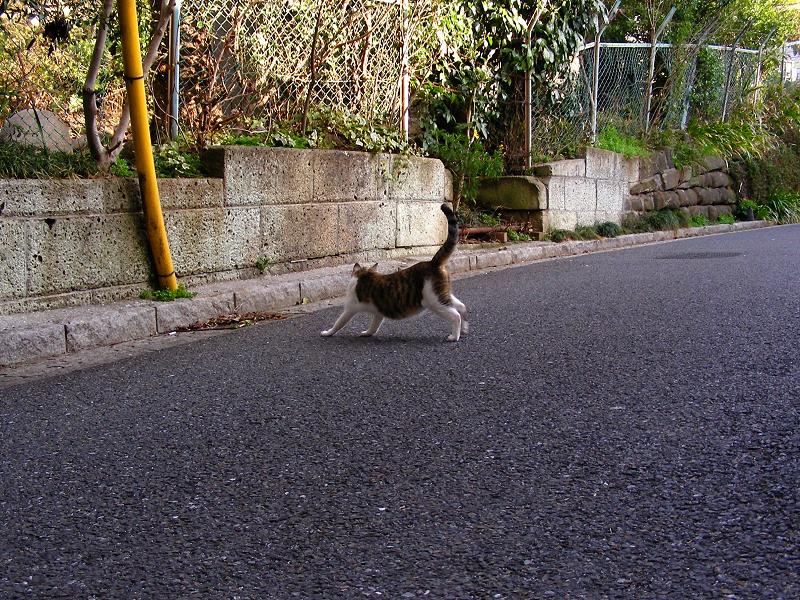 道路で伸びするキジ白猫1