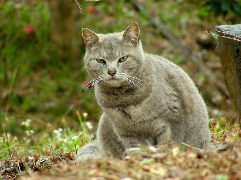 山寺のグレー猫1