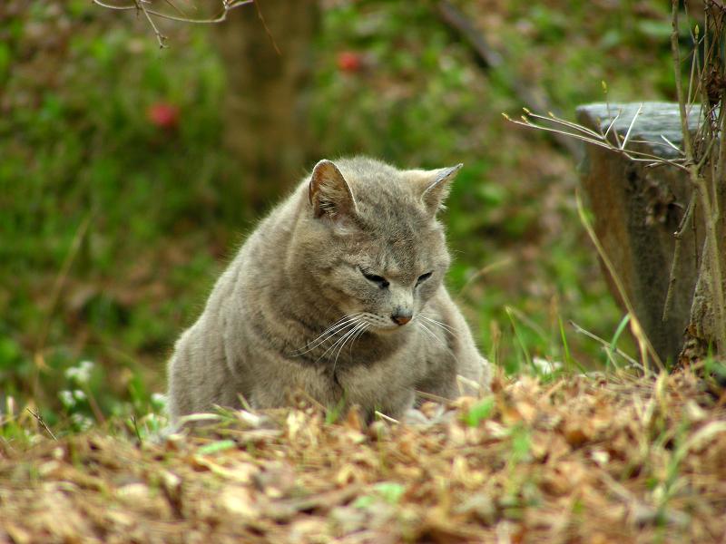 山寺のグレー猫2