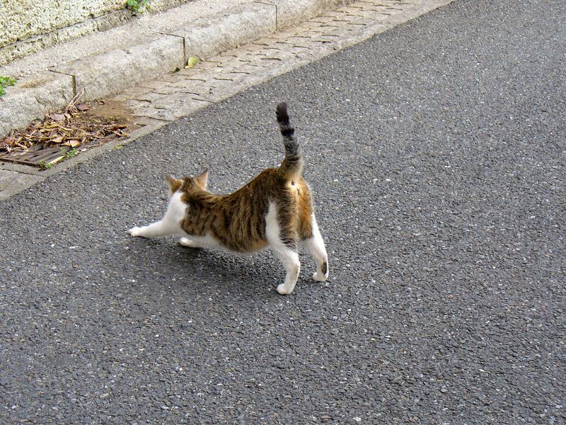 道路で伸びするキジ白猫2
