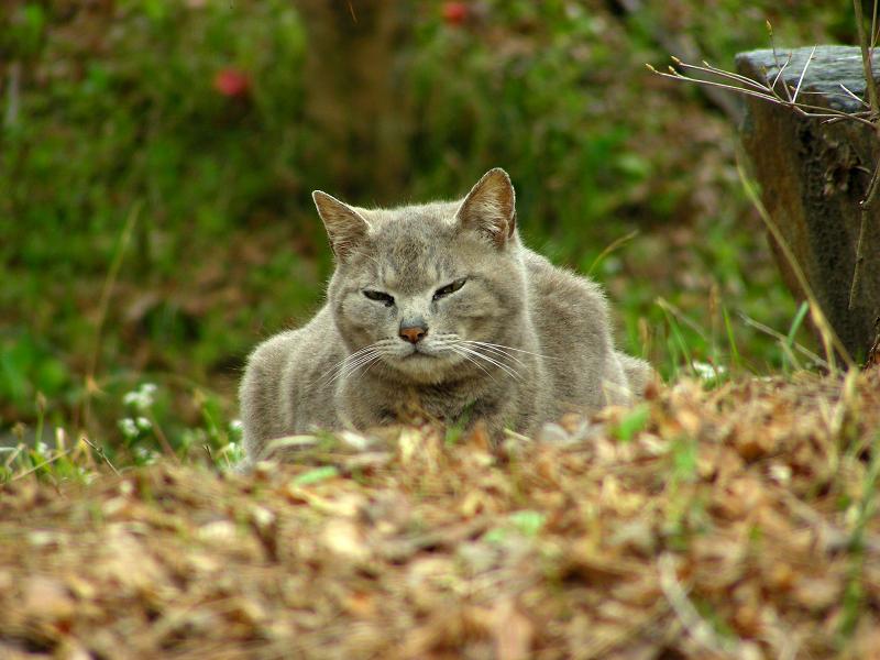 山寺のグレー猫3