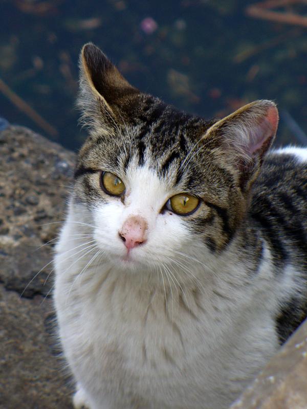 運河背景のキジ白猫3