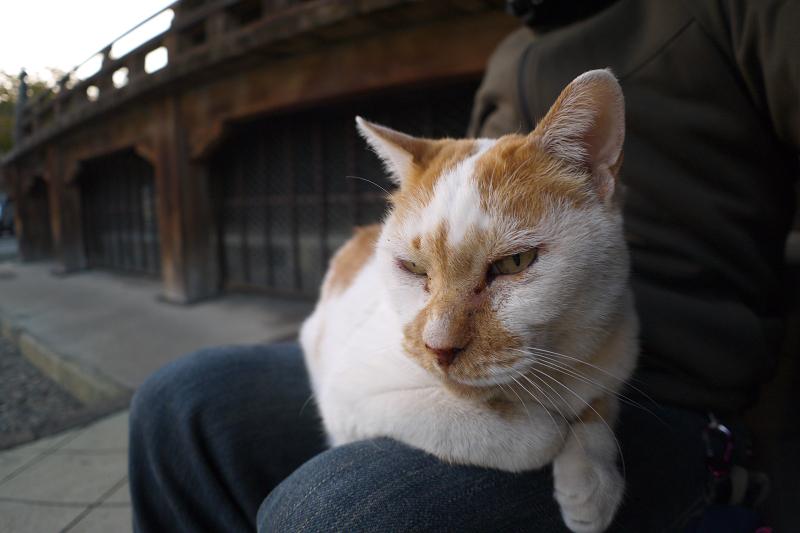 膝に乗って待っている茶白猫1