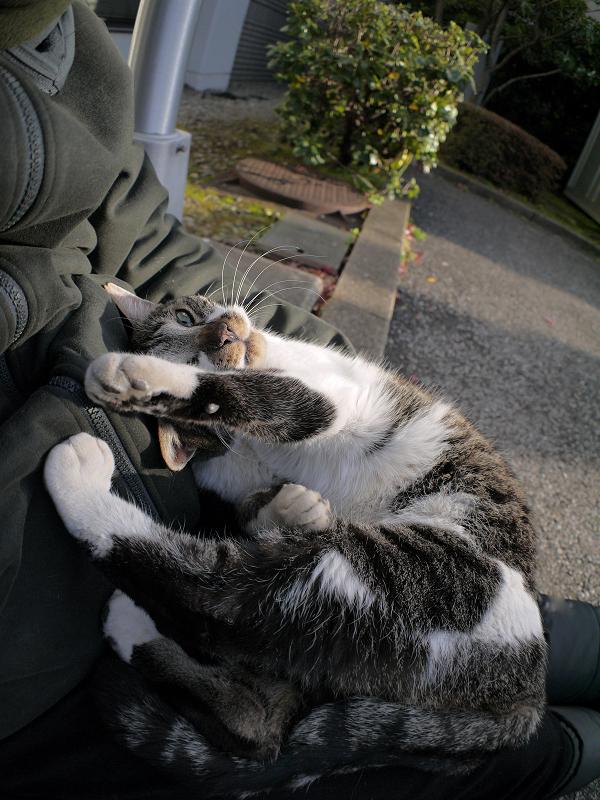 膝で足を伸ばしてるキジ白猫2
