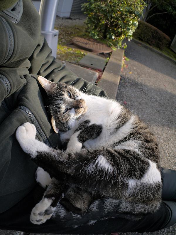 膝で足を伸ばしてるキジ白猫3
