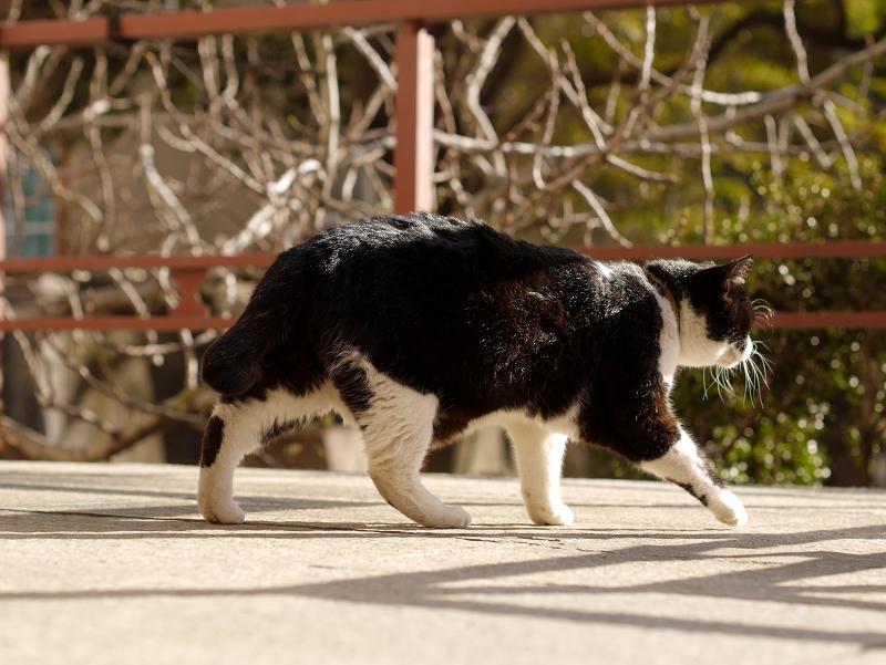 濡れ縁を歩く黒白猫1