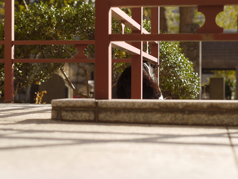 濡れ縁を歩く黒白猫3