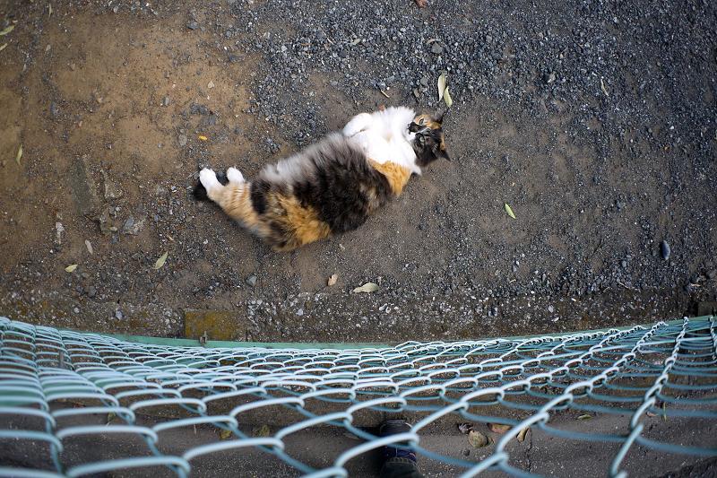 フェンス越しの毛長の三毛猫1