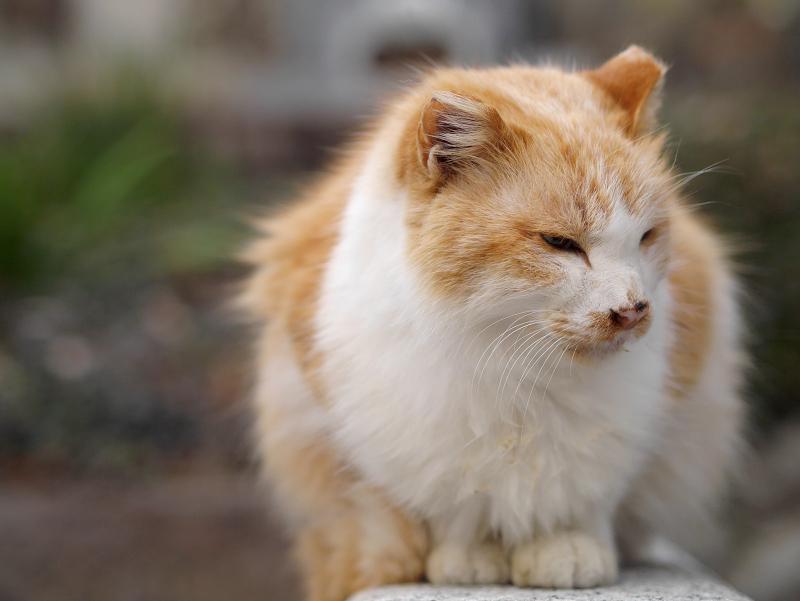毛長の茶白猫をローアングルで1