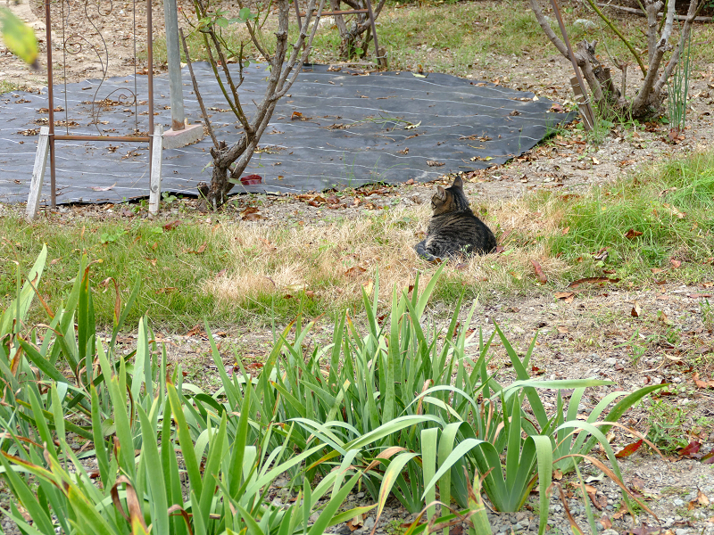 広い庭のキジトラ猫1