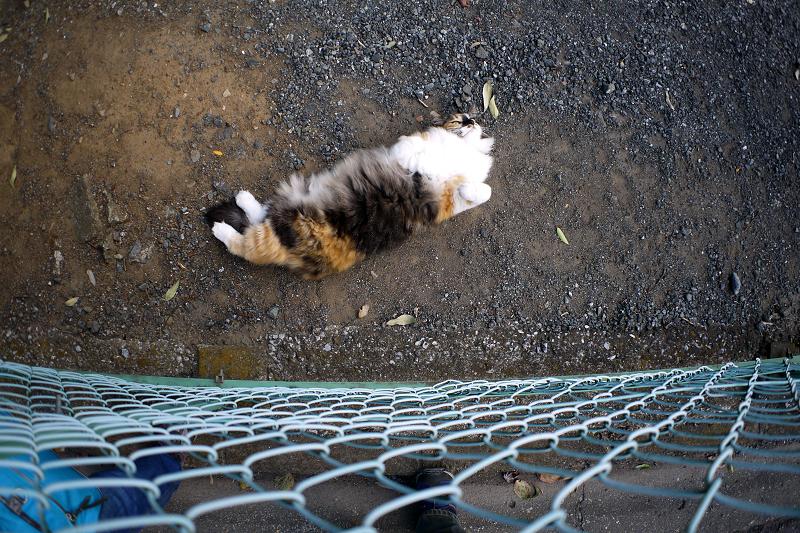 フェンス越しの毛長の三毛猫2