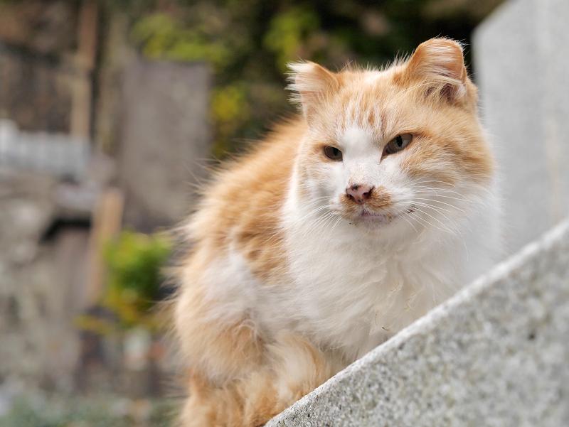 毛長の茶白猫をローアングルで2