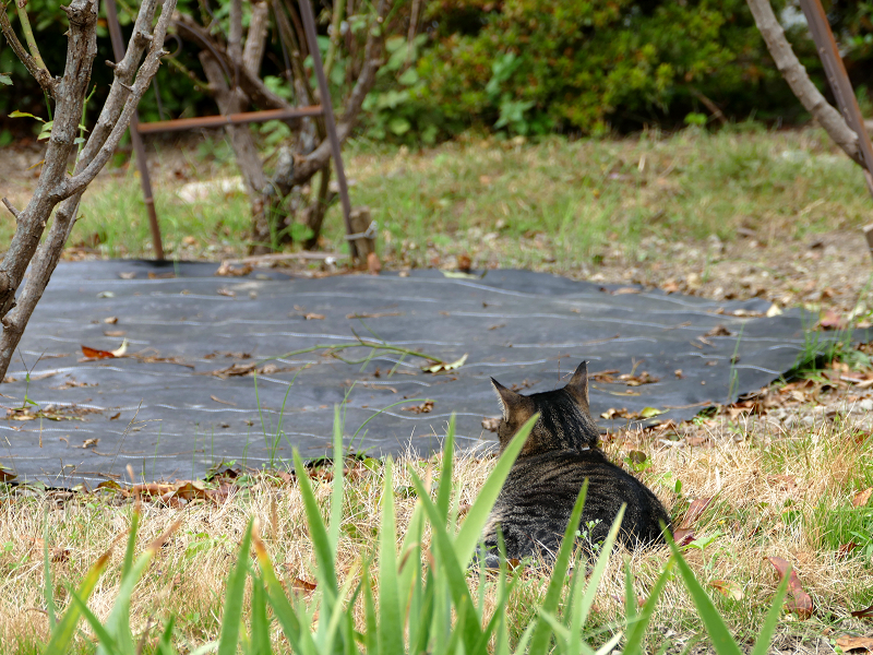 広い庭のキジトラ猫