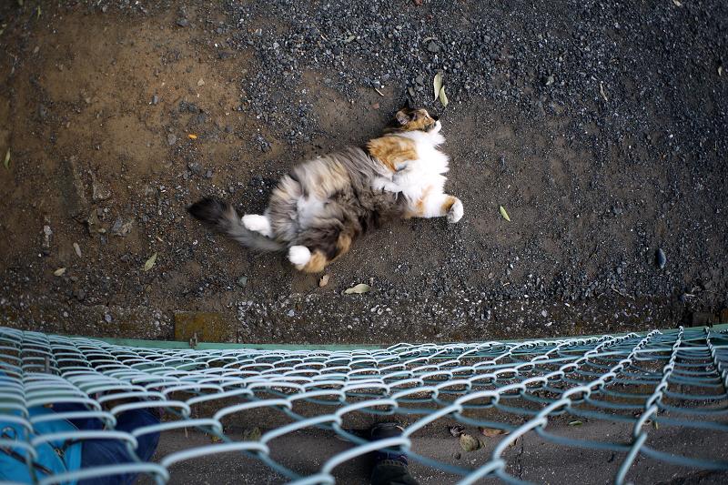 フェンス越しの毛長の三毛猫3