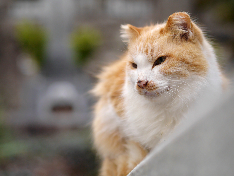 毛長の茶白猫をローアングルで3