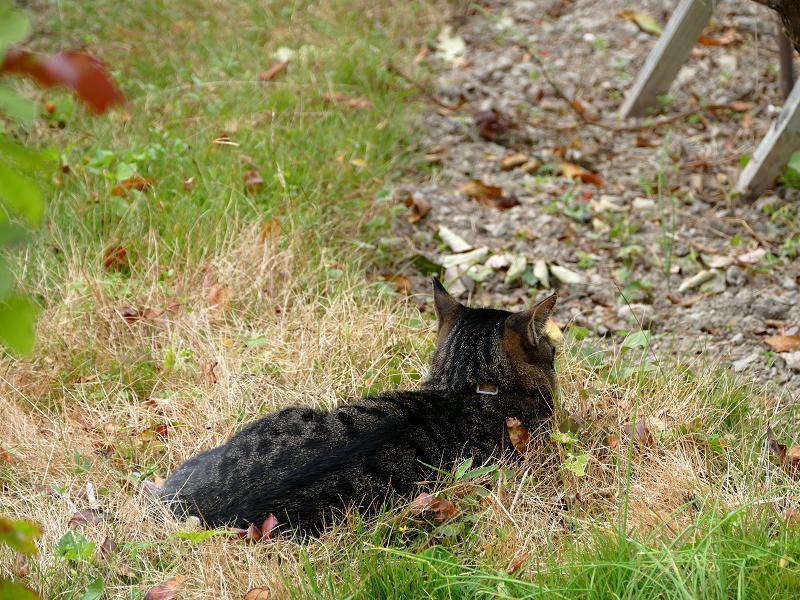 広い庭のキジトラ猫3