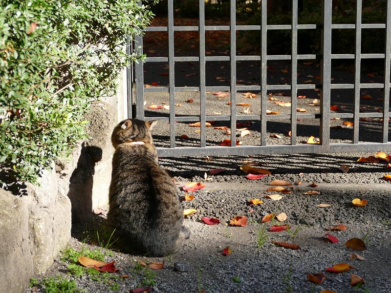 門扉前で待つキジトラ猫1