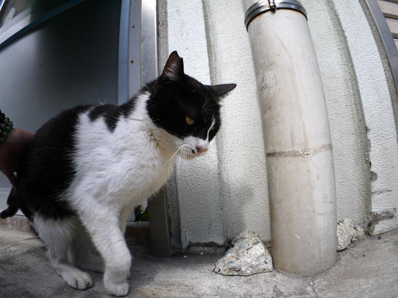 再会した黒白猫2