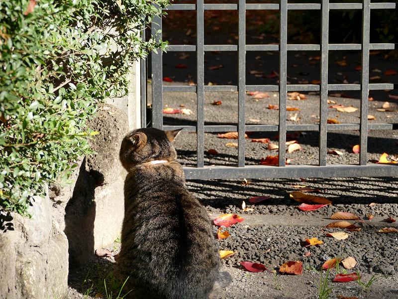 門扉前で待つキジトラ猫2