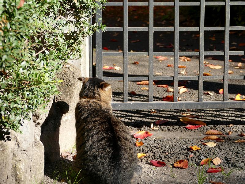 門扉前で待つキジトラ猫3