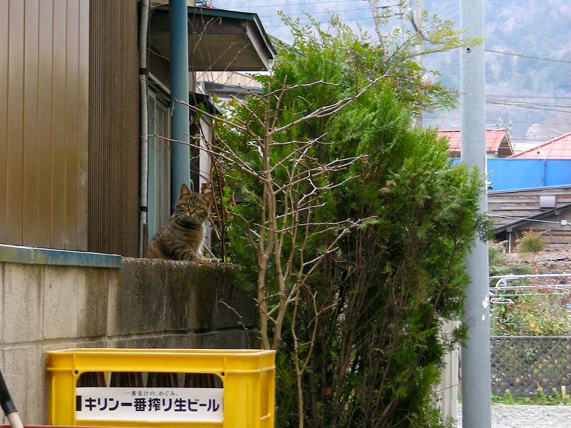ブロック塀に手を掛けてるキジトラ猫1
