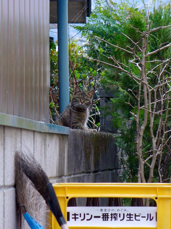 ブロック塀に手を掛けてるキジトラ猫2
