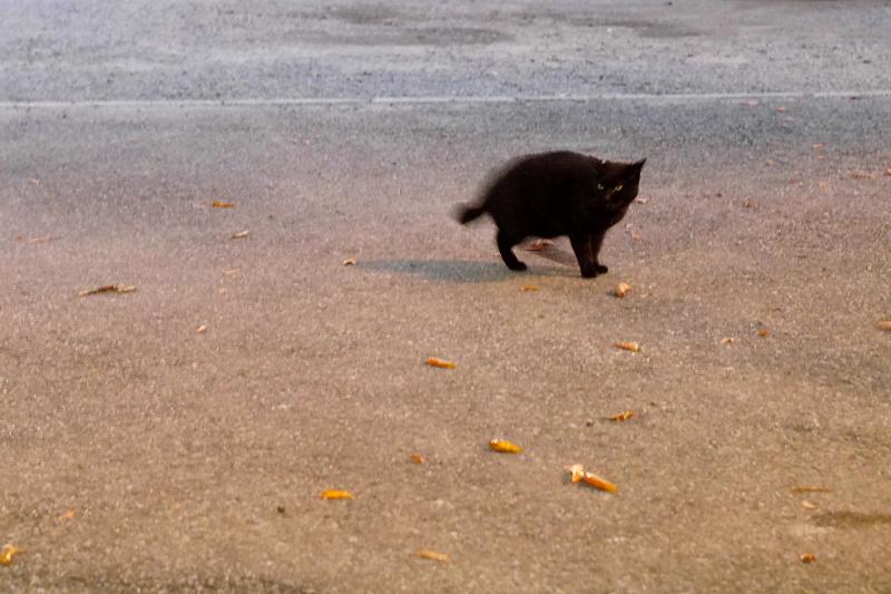 夜の寺境内の黒猫1