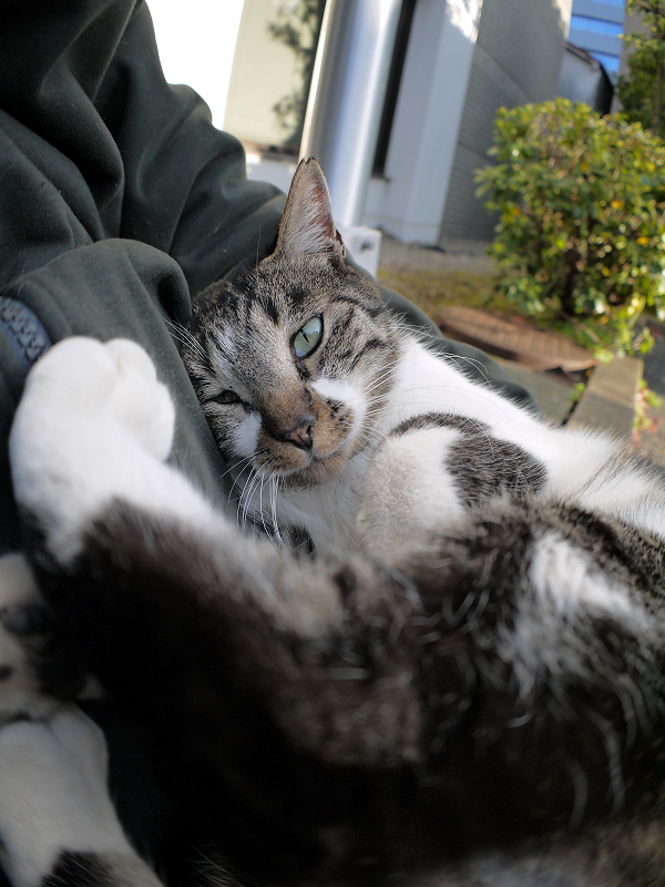膝で目を覚ましたキジ白猫2