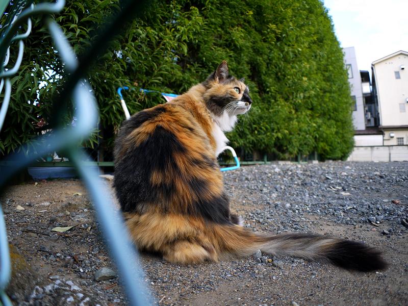 駐車場の毛長の三毛猫1