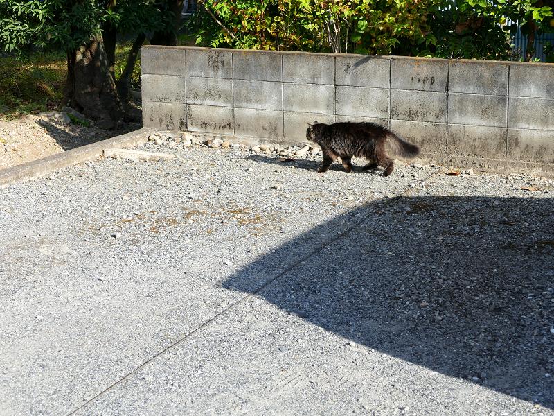 ブロック塀沿いの毛長の黒猫1