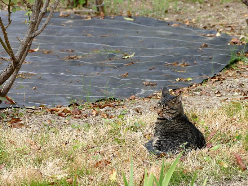 庭から見てるキジトラ猫1