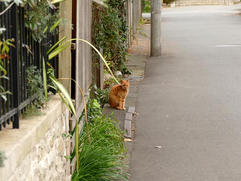 門前の茶トラ猫1