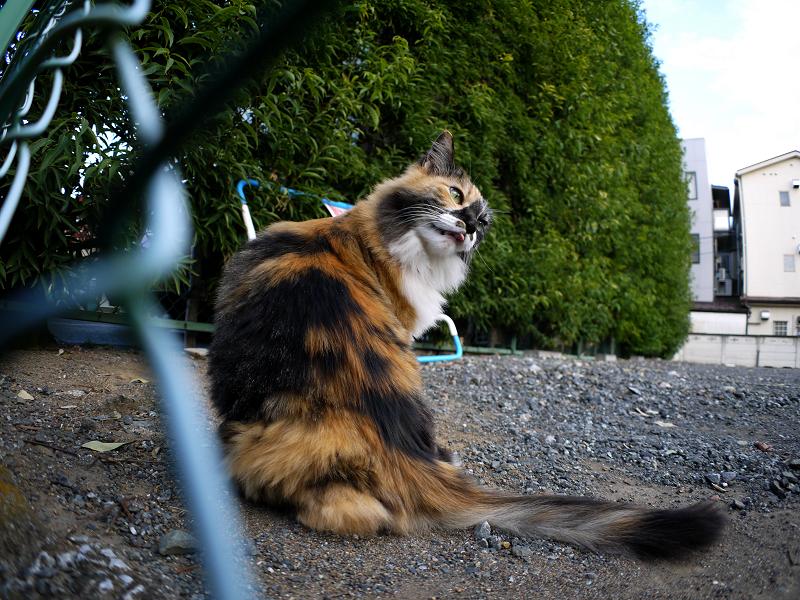 駐車場の毛長の三毛猫2