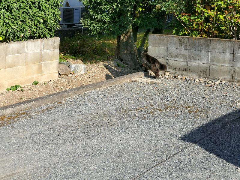 ブロック塀沿いの毛長の黒猫2