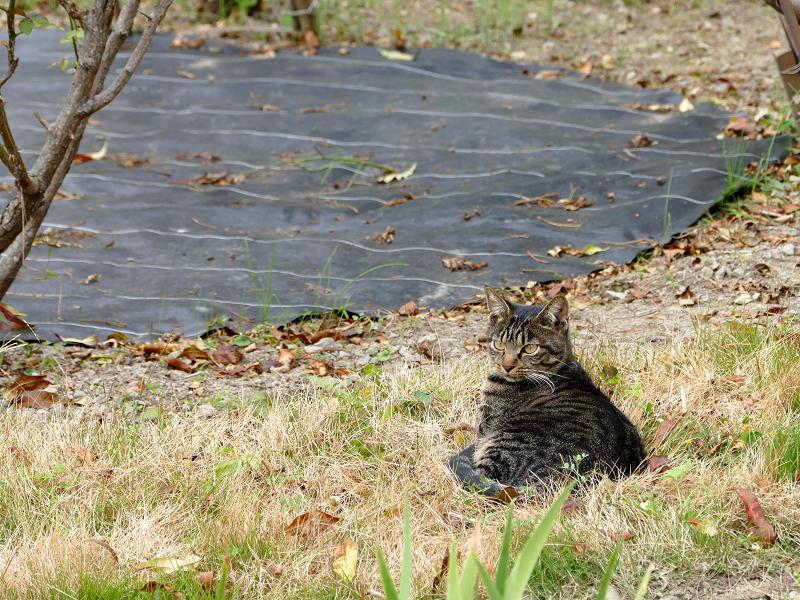 庭から見てるキジトラ猫2