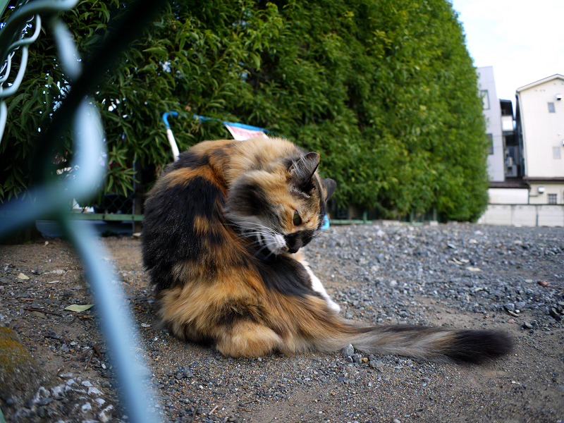 駐車場の毛長の三毛猫3