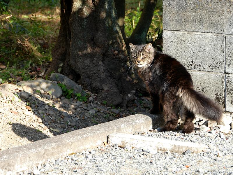 ブロック塀沿いの毛長の黒猫3