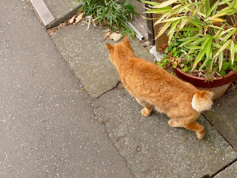 門前の茶トラ猫3
