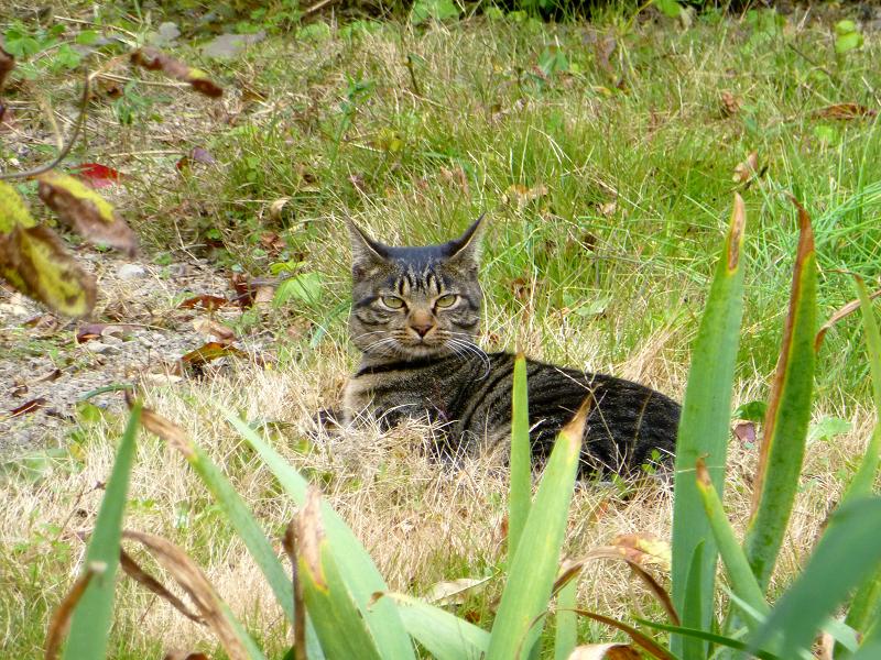 庭から見てるキジトラ猫3