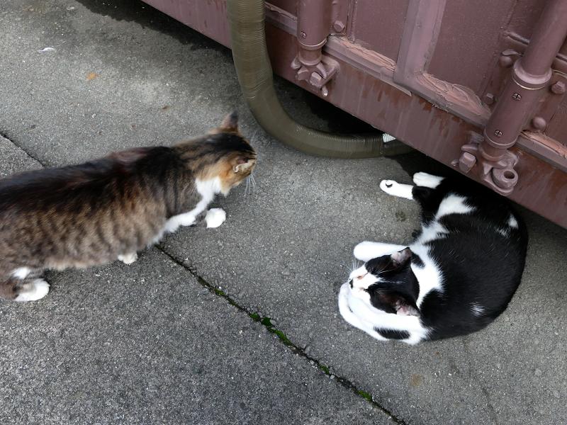 コンテナ横の毛長キジ白と黒白猫1