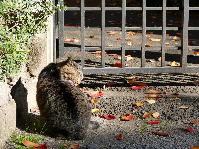 門扉前で毛繕いのキジトラ猫1