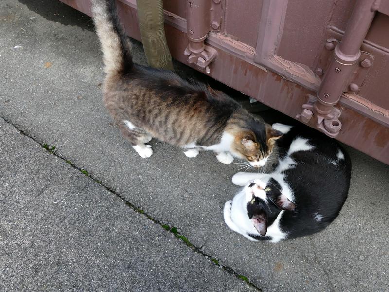 コンテナ横の毛長キジ白と黒白猫2