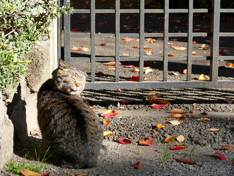 門扉前で毛繕いのキジトラ猫2
