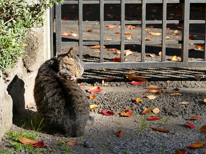 門扉前で毛繕いのキジトラ猫3